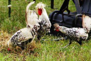 appenzeller chickens