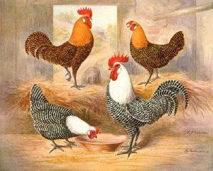 Campine cockerel rooster
