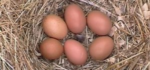 Barnvelder chicken eggs