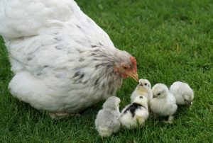 cochin chicken with chicks