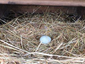 blue chicken egg