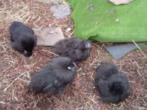 black silkie chicks