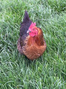 Welsummer chicken backyard