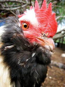 favorelle hen