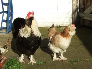 favorelle rooster and hen