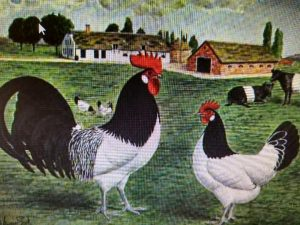 Lakenvelder chickens with cows