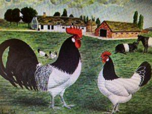 Lakenvelder chickens with cows