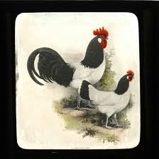 Lakenvelder hen and rooster