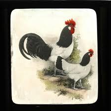 Lakenvelder hen and rooster