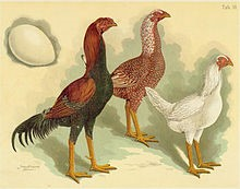 Malay rooster and female