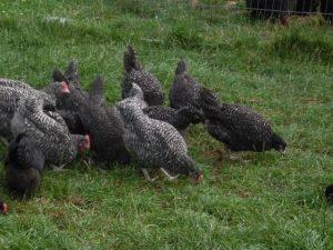 10 week old cuckoo marans