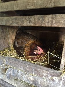 chicken laying egg in nesting box