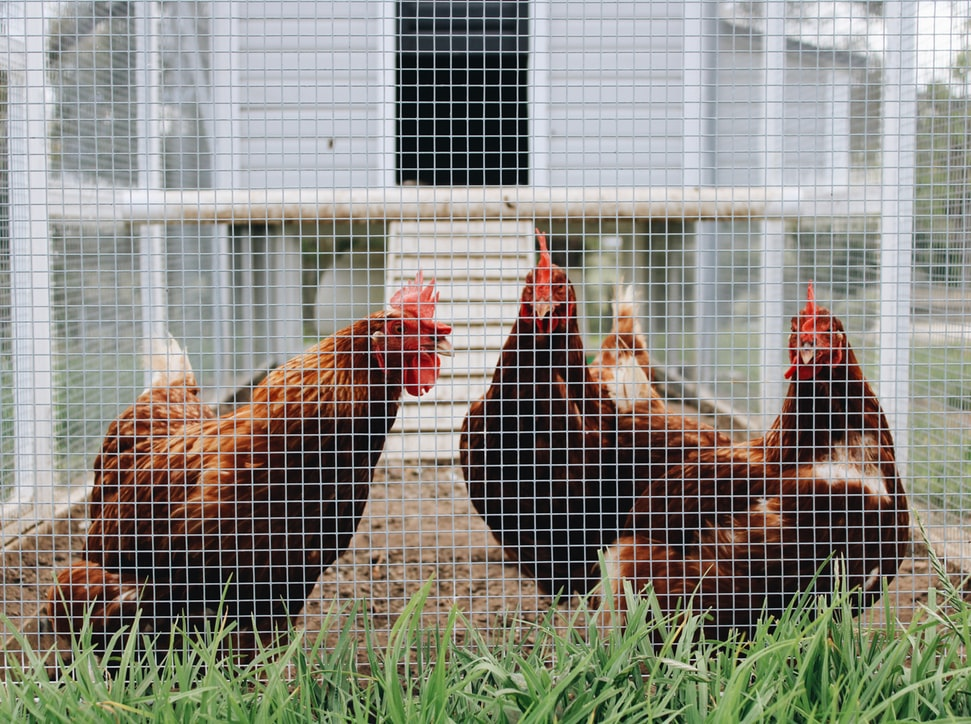 What Are the Most Common Problems Chickens Suffer From?