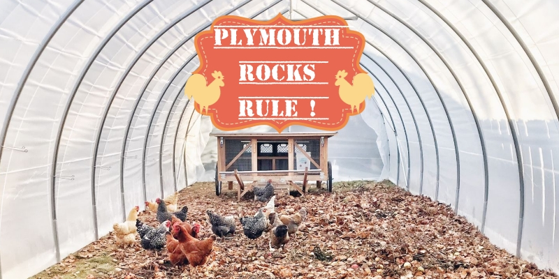 Chicken flock with Plymouth rocks