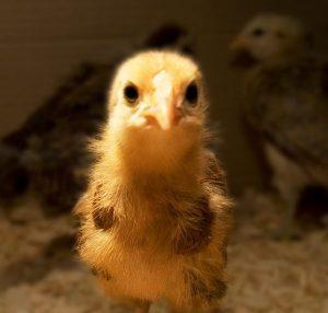 Redcap chick