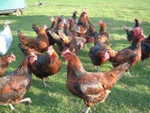 Redcap hens