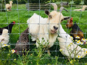 free range chickens homestead