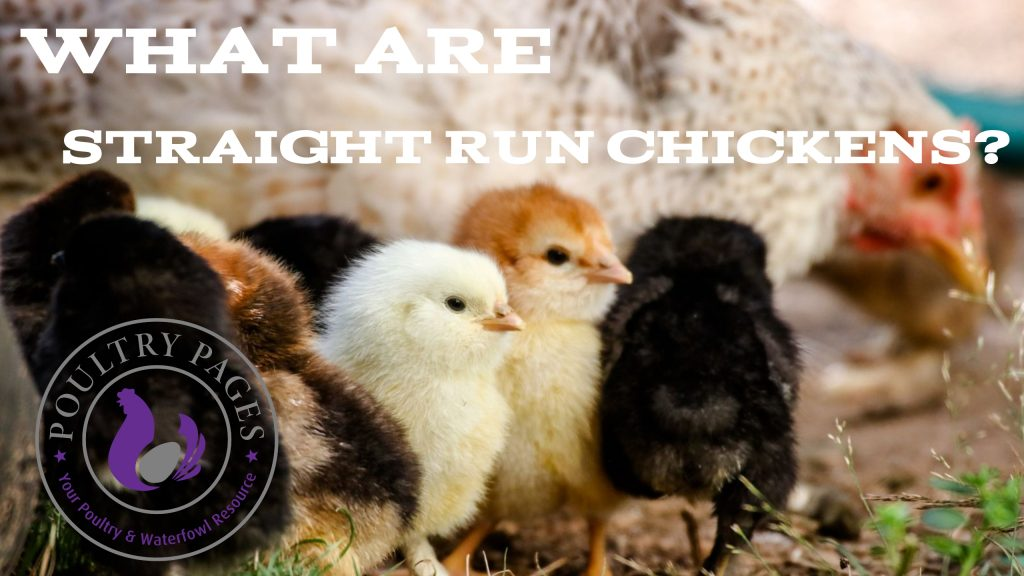 what are straight run chickens
