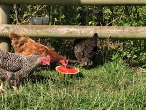 chickens eating watermelon