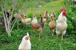 Icelandic chickens