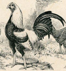Silver Duckwing Old english game bantam