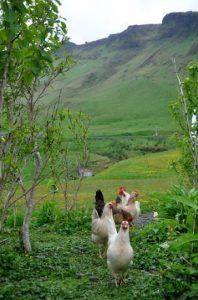 free range icelandic chickens