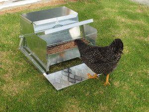 grandpa chicken feeder chicken feeding