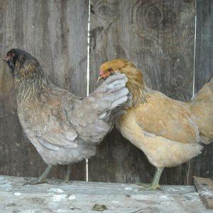ameraucana chickens